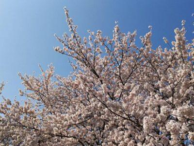 桜の季節に桜の床材はいかがでしょうか?